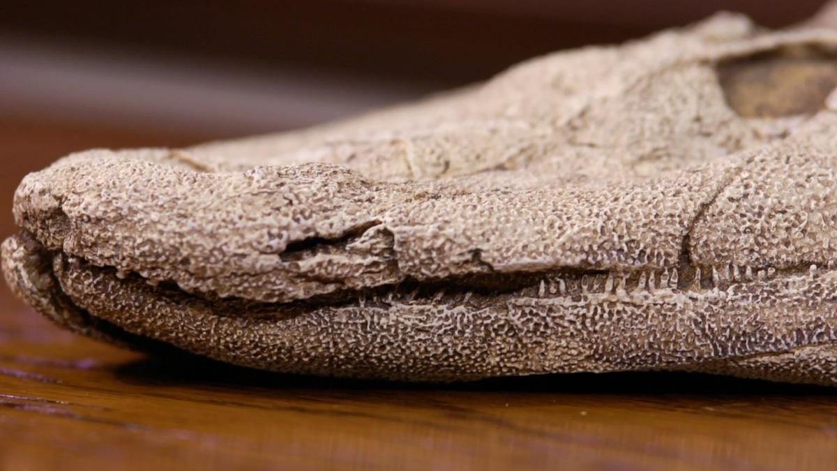 Cast of Tiktaalik roseae fossil